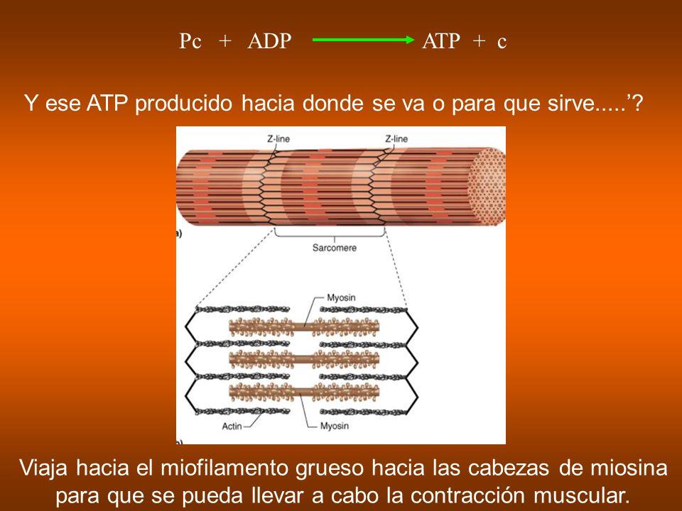 Y ese ATP producido hacia donde se va o para que sirve.....? Viaja hacia el miofilamento grueso hacia las cabezas de miosina para que se pueda llevar