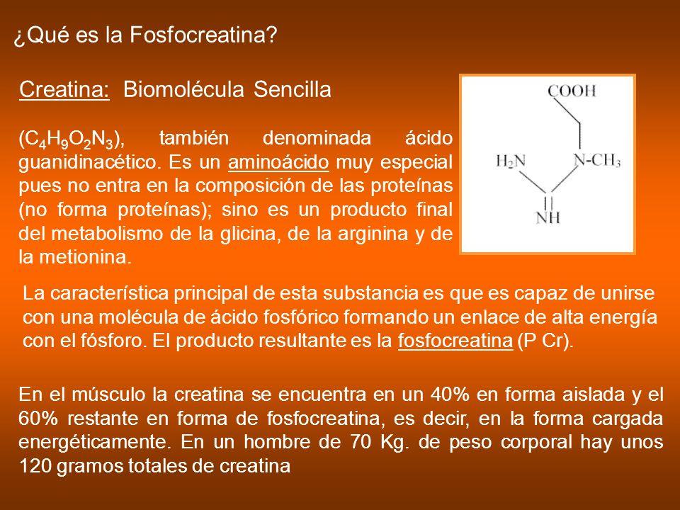 ¿Qué es la Fosfocreatina? Creatina: Biomolécula Sencilla (C 4 H 9 O 2 N 3 ), también denominada ácido guanidinacético. Es un aminoácido muy especial p