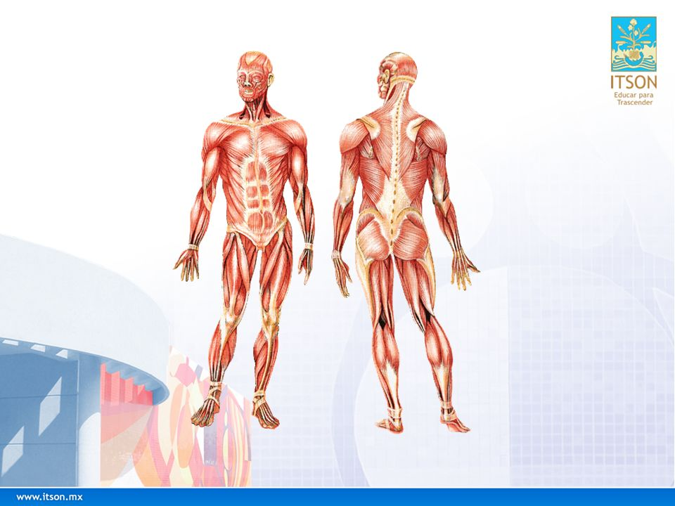 ¿Cómo Ayudar a Nuestros Músculos.