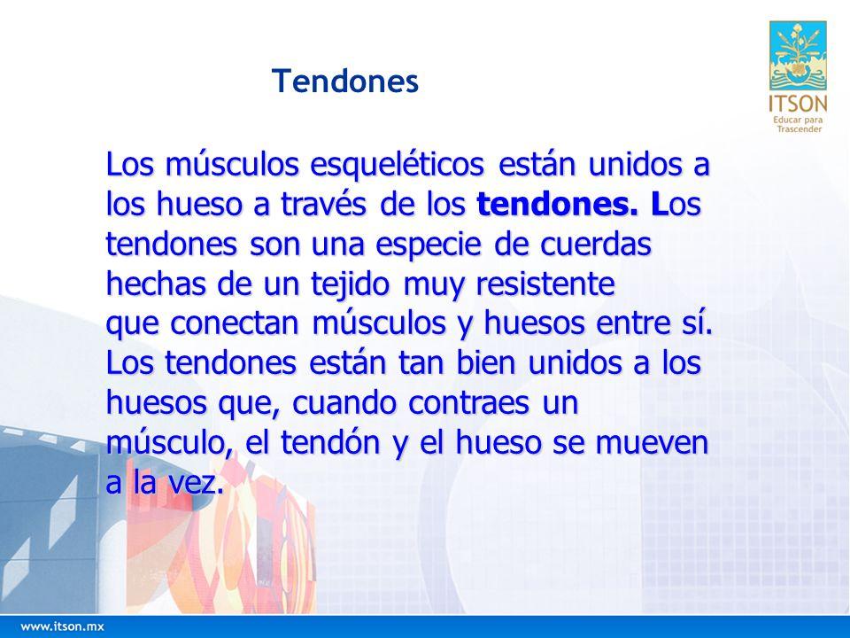 Tendones Los músculos esqueléticos están unidos a los hueso a través de los tendones. Los tendones son una especie de cuerdas hechas de un tejido muy