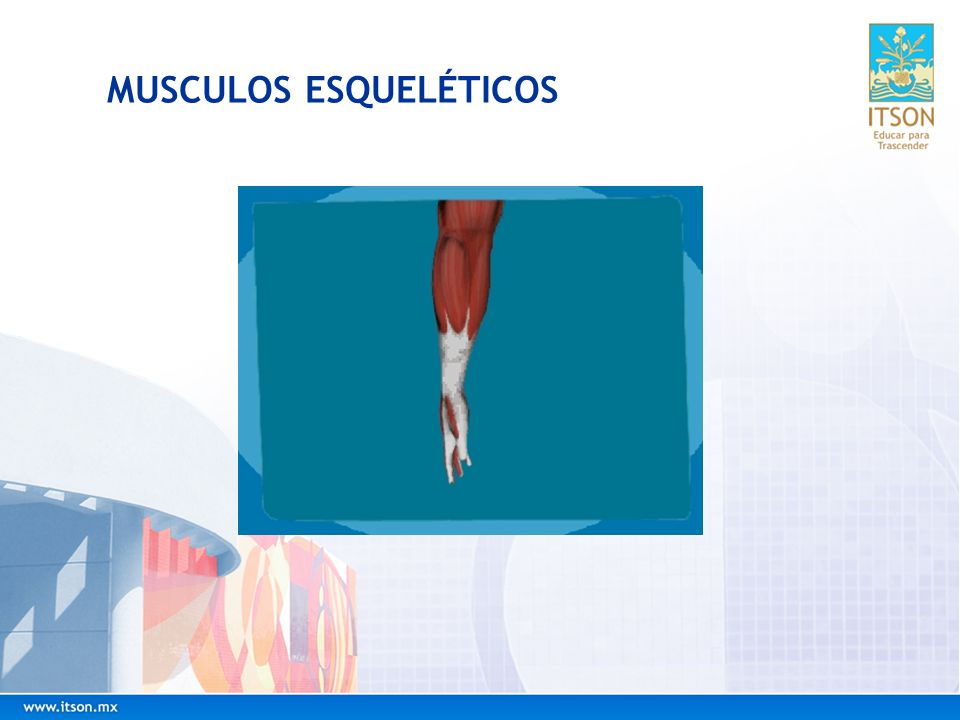 Diferencias Musculares El uso excesivo del músculo, haciendo muchísimo ejercicio, puede aumentar notablemente su tamaño, a causa del aumento individual de cada una de las células musculares.