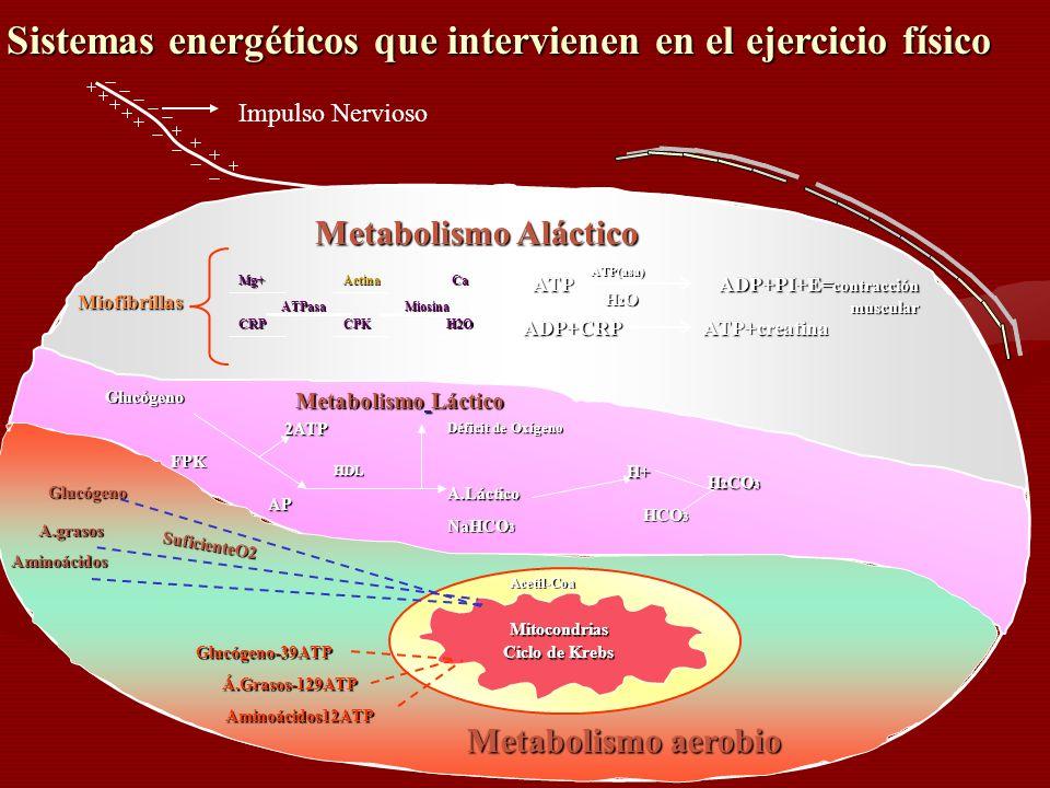 Miofibrillas Mg+ ATPasa Actina ATP(asa) Miosina CRPCPK H2OH2OH2OH2O CaATP H2OH2OH2OH2O ADP+PI+E= contracción muscular ADP+CRPATP+creatina Metabolismo