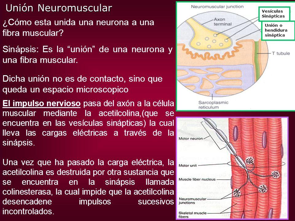 Vesículas Sinápticas Unión o hendidura sináptica Unión Neuromuscular ¿Cómo esta unida una neurona a una fibra muscular? Sinápsis: Es la unión de una n