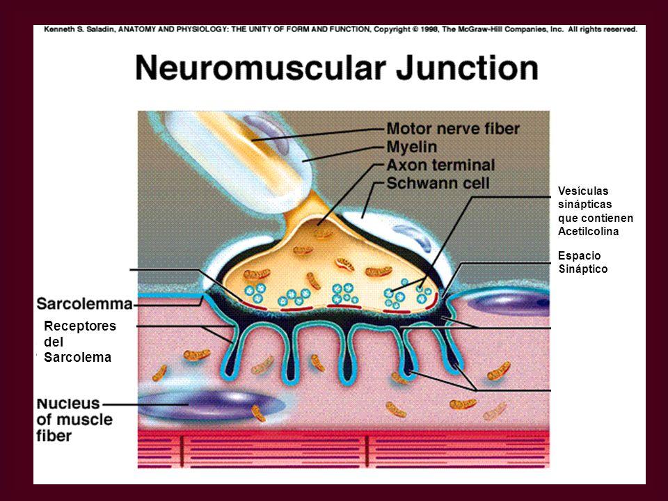 Vesículas sinápticas que contienen Acetilcolina Espacio Sináptico Receptores del Sarcolema