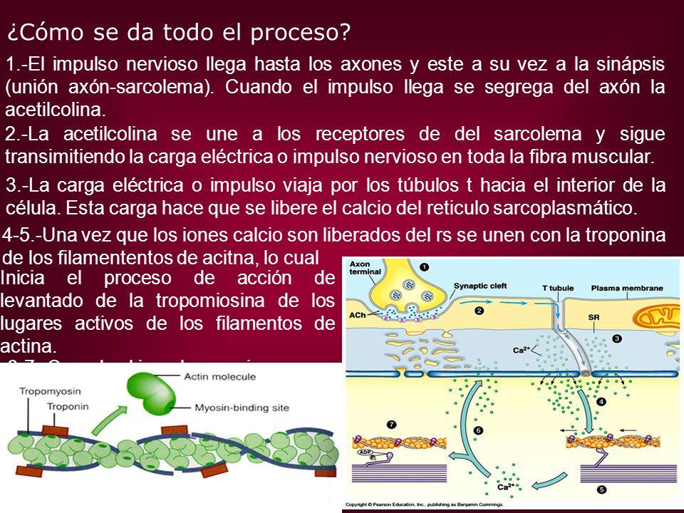 ¿Cómo se da todo el proceso? 1.-El impulso nervioso llega hasta los axones y este a su vez a la sinápsis (unión axón-sarcolema). Cuando el impulso lle