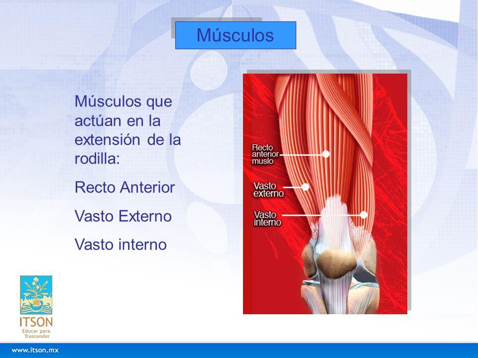 Músculos Músculos que actúan en la extensión de la rodilla: Recto Anterior Vasto Externo Vasto interno