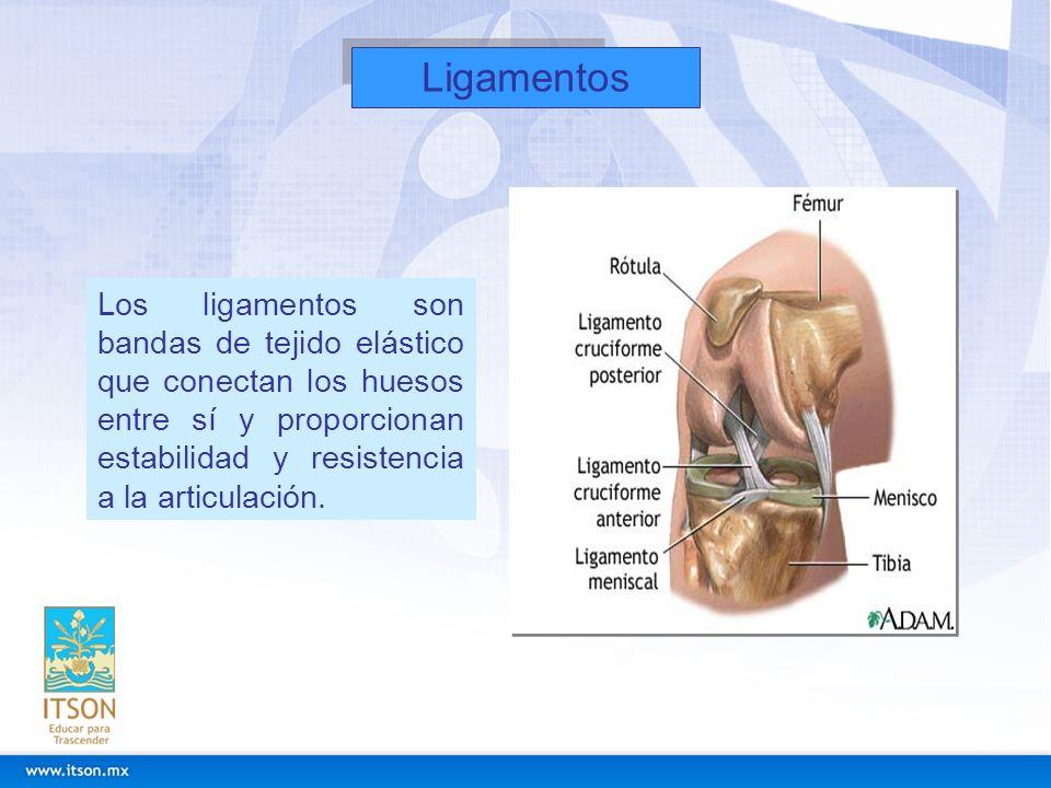 Ligamentos Los ligamentos son bandas de tejido elástico que conectan los huesos entre sí y proporcionan estabilidad y resistencia a la articulación.