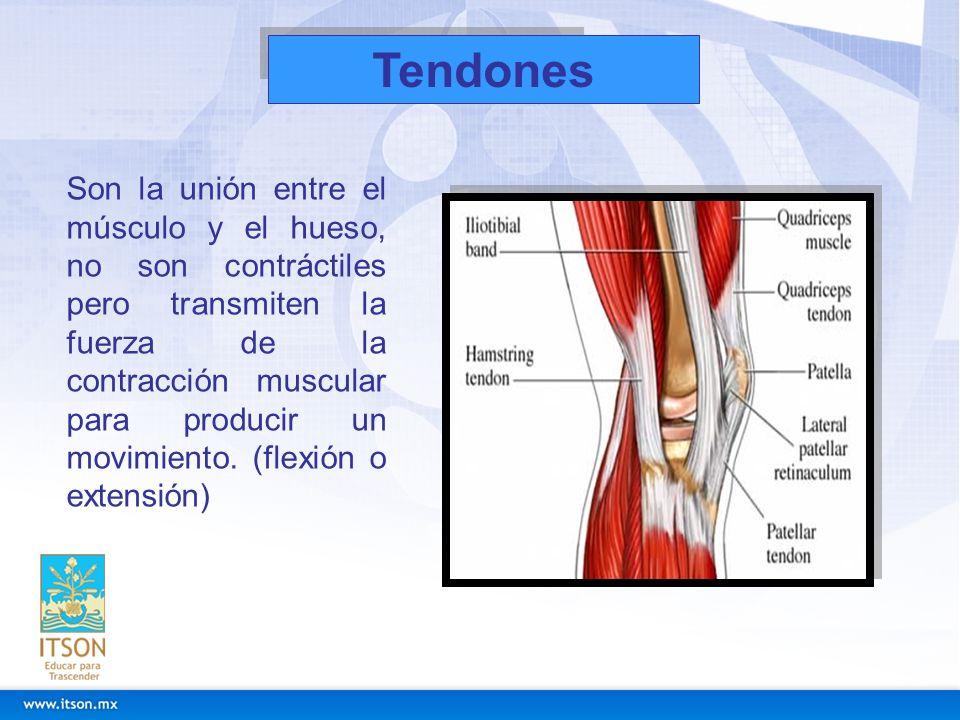 Tendones Son la unión entre el músculo y el hueso, no son contráctiles pero transmiten la fuerza de la contracción muscular para producir un movimient