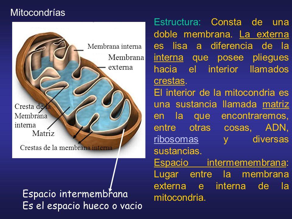 Estructura: Consta de una doble membrana. La externa es lisa a diferencia de la interna que posee pliegues hacia el interior llamados crestas. El inte