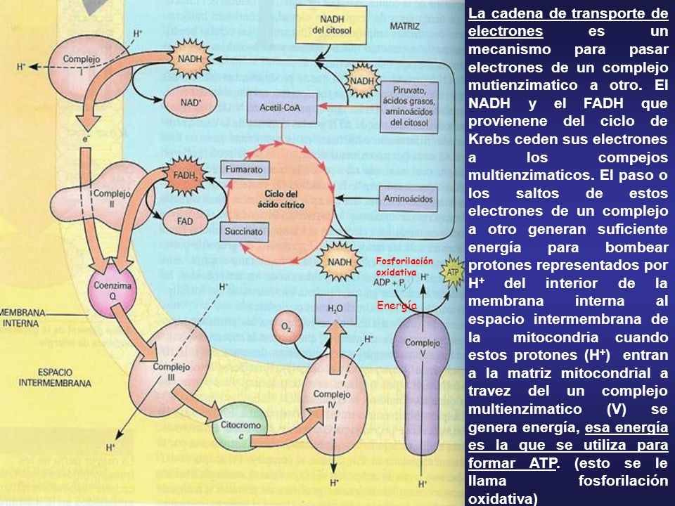 La cadena de transporte de electrones es un mecanismo para pasar electrones de un complejo mutienzimatico a otro. El NADH y el FADH que provienene del