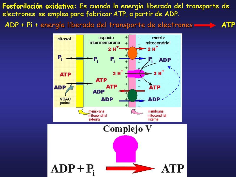 Fosforilación oxidativa: Es cuando la energía liberada del transporte de electrones se emplea para fabricar ATP, a partir de ADP. energía liberada del