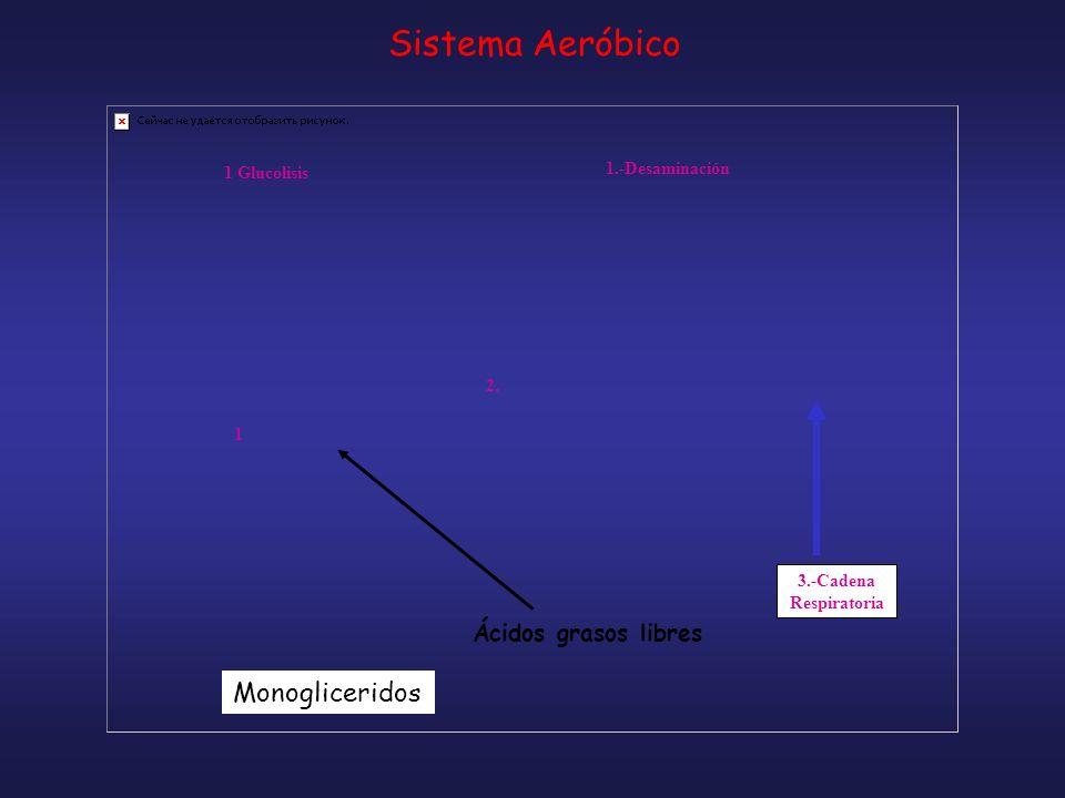 3.-Cadena Respiratoria 1 Glucolisis 1.-Desaminación 1 2. Monogliceridos Ácidos grasos libres Sistema Aeróbico