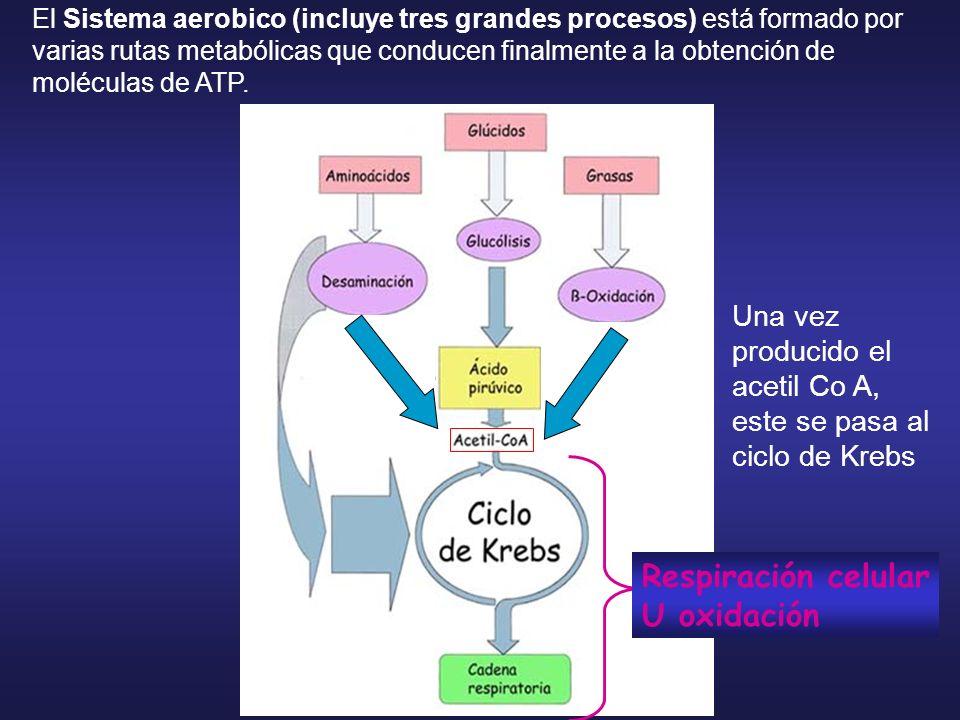 El Sistema aerobico (incluye tres grandes procesos) está formado por varias rutas metabólicas que conducen finalmente a la obtención de moléculas de A
