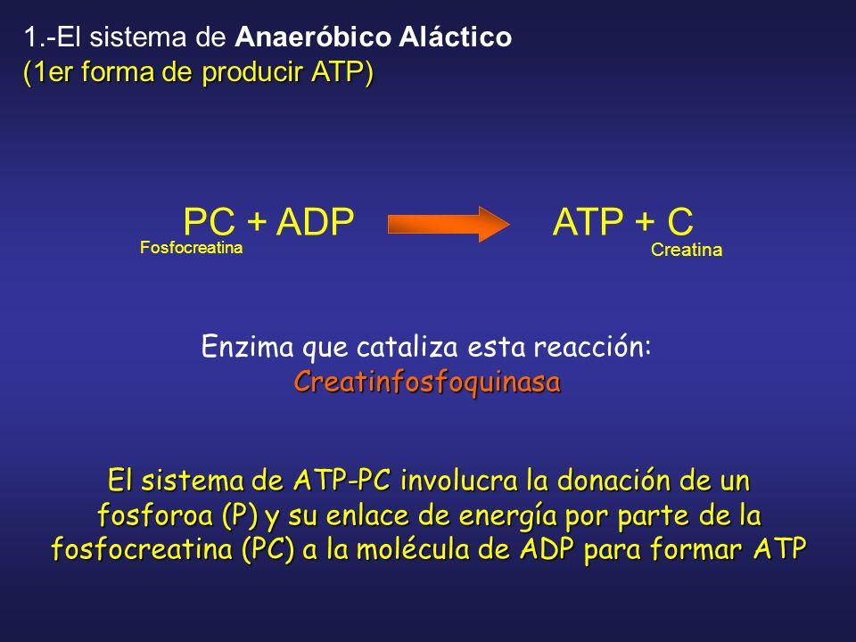 PC + ADP ATP + C Fosfocreatina Creatina El sistema de ATP-PC involucra la donación de un fosforoa (P) y su enlace de energía por parte de la fosfocrea