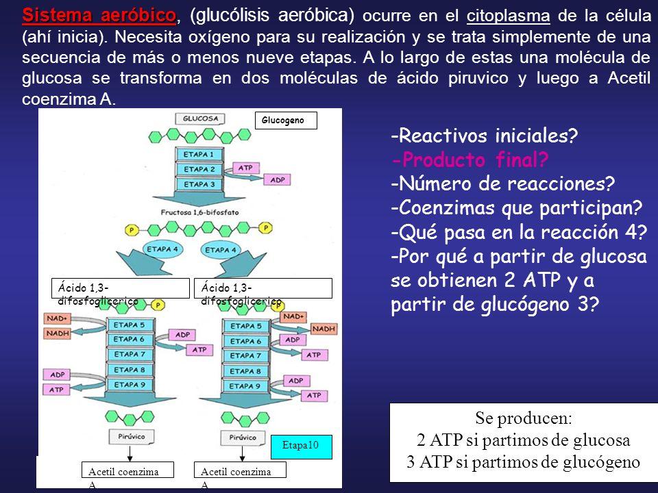Enzimas que participan: Hexoquinasa Fosfofructoquinasa Aldolasa, Deshidrogenasa Fosfogliceratquinasa Enolasa Piruvatoquinasa Fosfoglucomutasa y sin gasto de ATP GlucosaGlucogeno Aldehido fosfoglicérico Ácido fosfoenolpiruvico 1 3 2 5 4 6 8 7 9 Acetil coenzima A 10 Deshidrogenasa Coenzimas: TPP, NAD,HSCoA Fosfoglucoisomerasa Triosa fosfato isomerasa Fosfogliceratomutasa Enzima que activa a la glucosa y la fosforila y a partir de que.