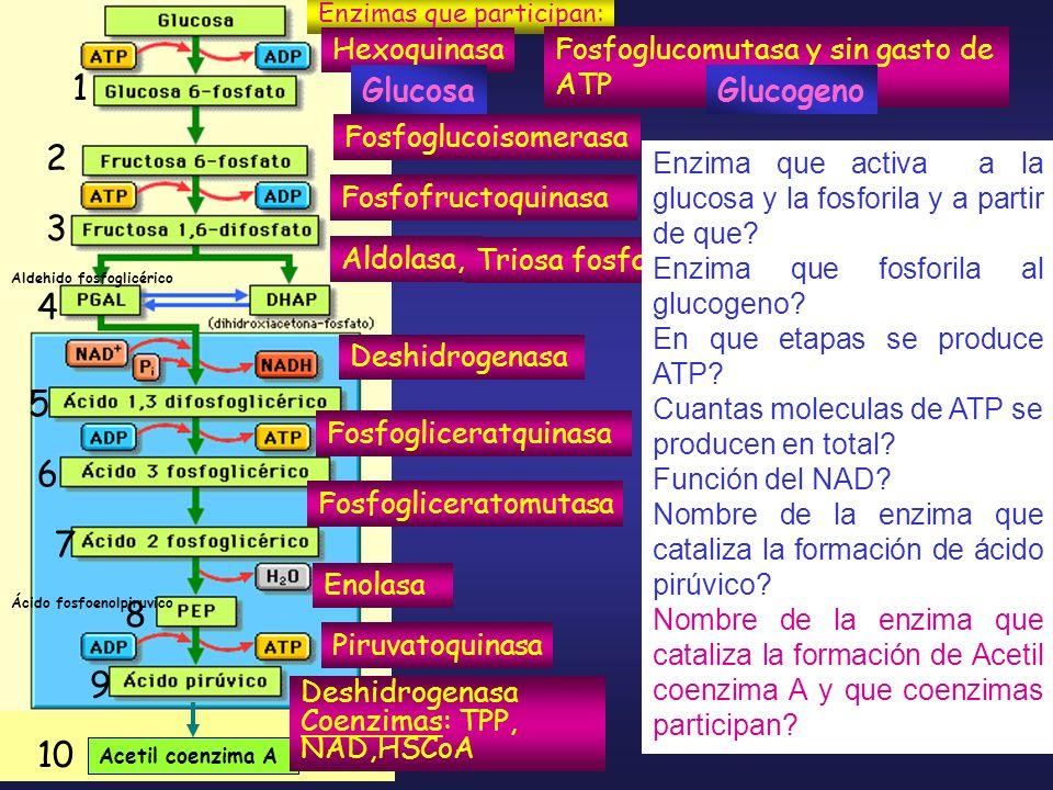 Enzimas que participan: Hexoquinasa Fosfofructoquinasa Aldolasa, Deshidrogenasa Fosfogliceratquinasa Enolasa Piruvatoquinasa Fosfoglucomutasa y sin ga