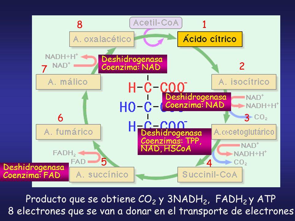 Producto que se obtiene CO 2 y 3NADH 2, FADH 2 y ATP 8 electrones que se van a donar en el transporte de electrones Deshidrogenasa Coenzima: NAD Deshi