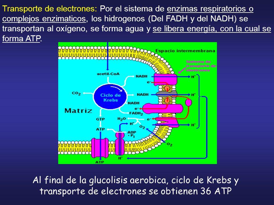 Transporte de electrones: Por el sistema de enzimas respiratorios o complejos enzimaticos, los hidrogenos (Del FADH y del NADH) se transportan al oxíg