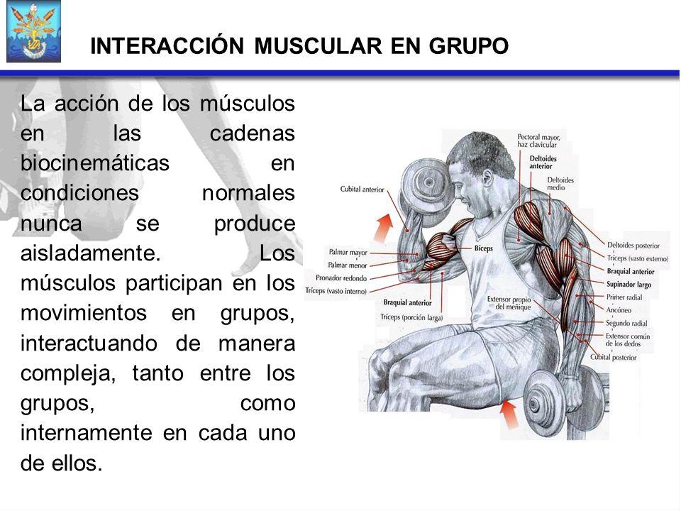 INTERACCIÓN MUSCULAR EN GRUPO La acción de los músculos en las cadenas biocinemáticas en condiciones normales nunca se produce aisladamente. Los múscu