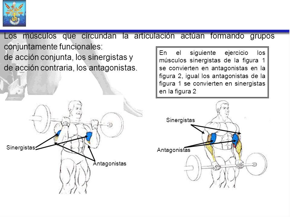 Los músculos que circundan la articulación actúan formando grupos conjuntamente funcionales: de acción conjunta, los sinergistas y de acción contraria