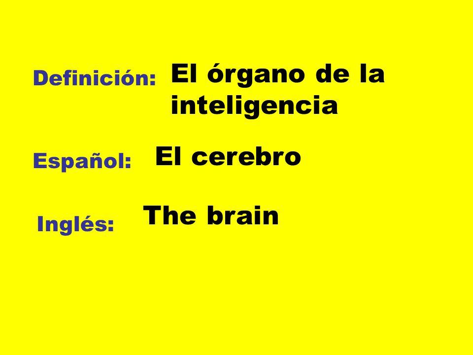 Definición: Español: Inglés: El órgano de la inteligencia El cerebro The brain