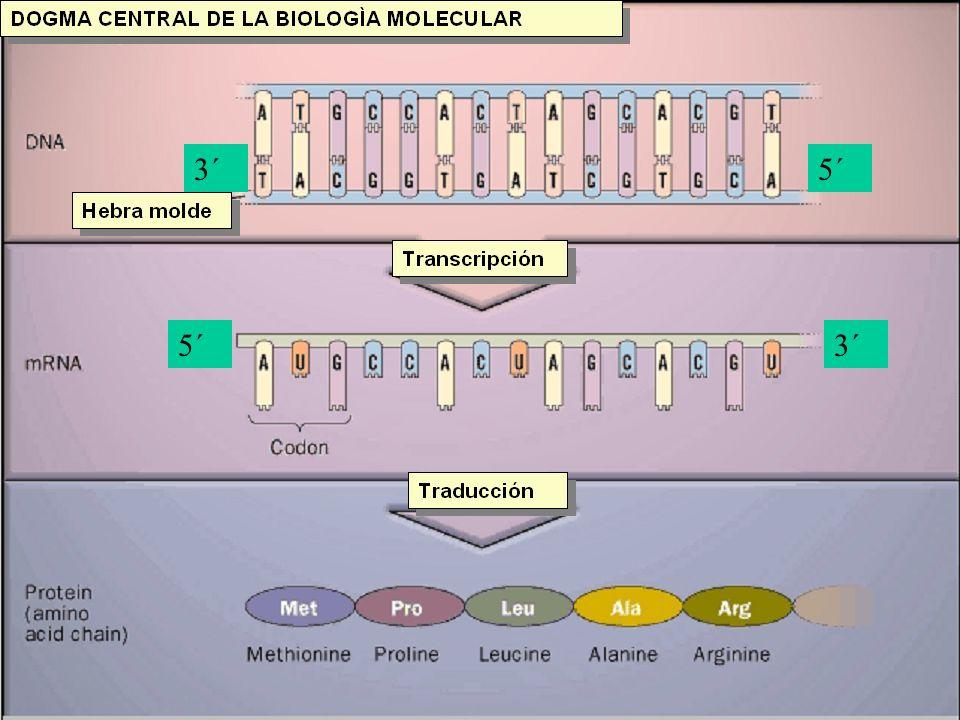 TRADUCCIÓN:ETAPA ELONGACIÓN b)Se produce el enlace peptídico entre el dipéptido existente en P con el aminoácido existente en A gracias al enzima peptidil transferasa.