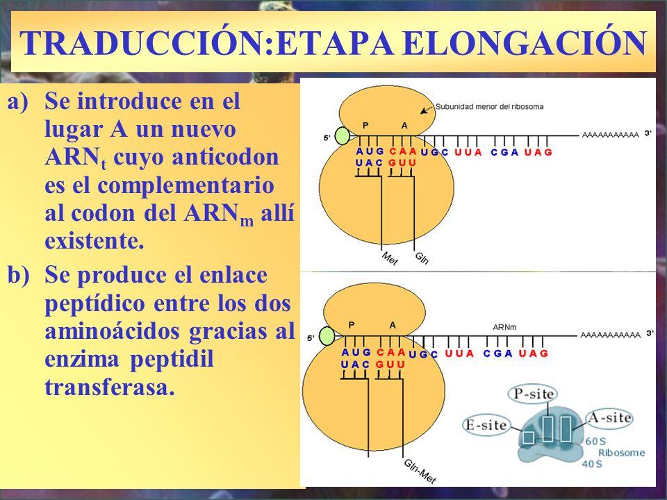 TRADUCCIÓN:ETAPA ELONGACIÓN a)Se introduce en el lugar A un nuevo ARN t cuyo anticodon es el complementario al codon del ARN m allí existente. b)Se pr