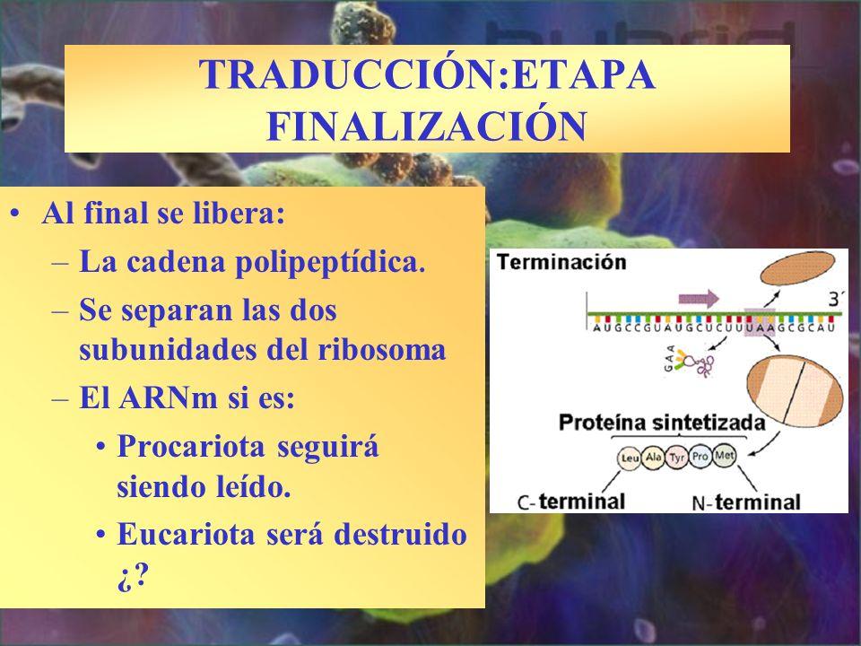 TRADUCCIÓN:ETAPA FINALIZACIÓN Al final se libera: –La cadena polipeptídica. –Se separan las dos subunidades del ribosoma –El ARNm si es: Procariota se