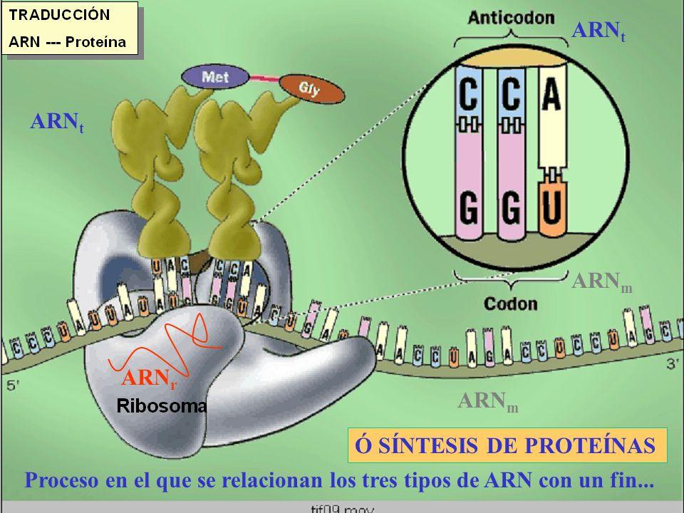 TRADUCCIÓN: SÍNTESIS DE PROTEÍNAS Síntesis de proteínas, unión de aminoácidos.