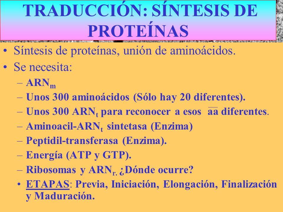 TRADUCCIÓN: SÍNTESIS DE PROTEÍNAS Síntesis de proteínas, unión de aminoácidos. Se necesita: –ARN m –Unos 300 aminoácidos (Sólo hay 20 diferentes). –Un