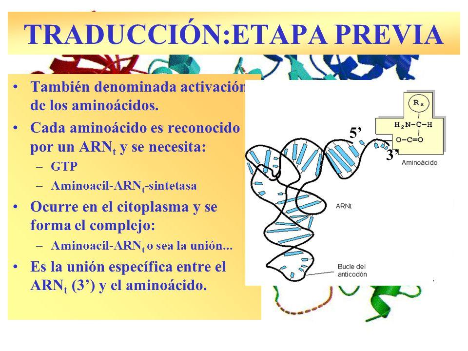 TRADUCCIÓN:ETAPA PREVIA Enzima ARN t sintetasa También denominada activación de los aminoácidos. Cada aminoácido es reconocido por un ARN t y se neces