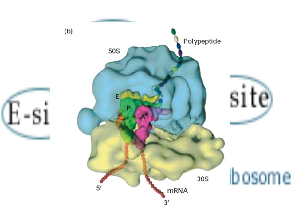 TRADUCCIÓN:ETAPA INICIACIÓN Se forma el complejo de iniciación: El ARN m es reconocido por la subunidad pequeña del ribosoma El codon de inicio AUG se sitúa en el lugar P Se introduce un ARN t cuyo anticodón es el 3UAC5