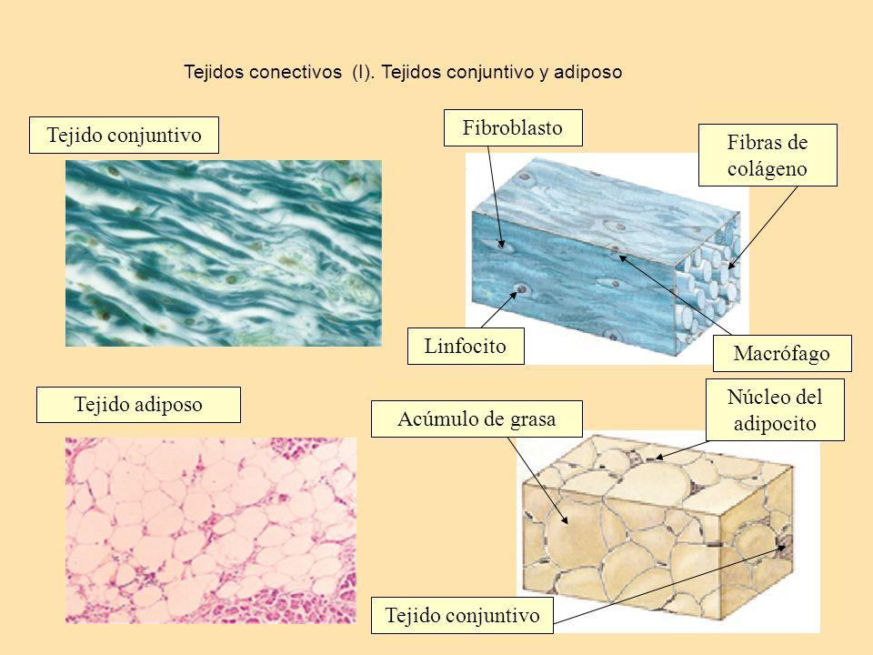 Tejidos conectivos (I). Tejidos conjuntivo y adiposo Tejido conjuntivo Tejido adiposo Fibroblasto Linfocito Macrófago Fibras de colágeno Núcleo del ad