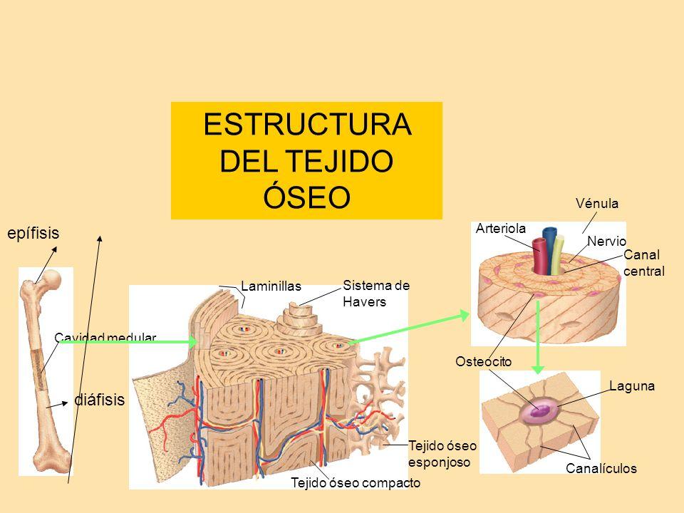 ESTRUCTURA DEL TEJIDO ÓSEO Cavidad medular Tejido óseo compacto Tejido óseo esponjoso Canal central Nervio Vénula Arteriola Sistema de Havers Laguna O