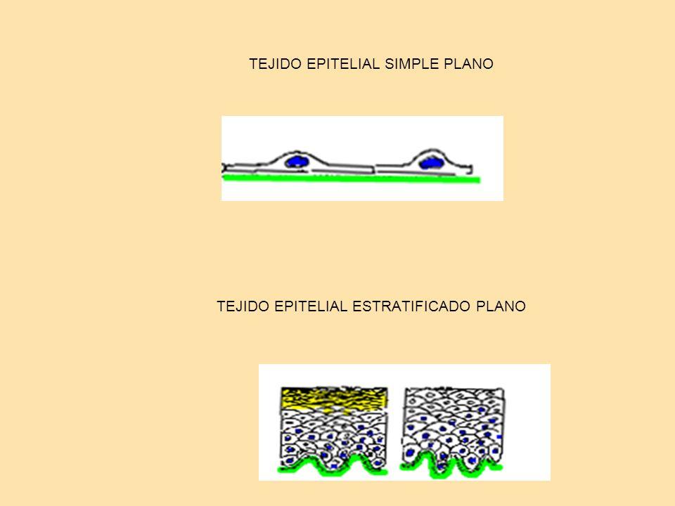 TEJIDO EPITELIAL SIMPLE PLANO TEJIDO EPITELIAL ESTRATIFICADO PLANO
