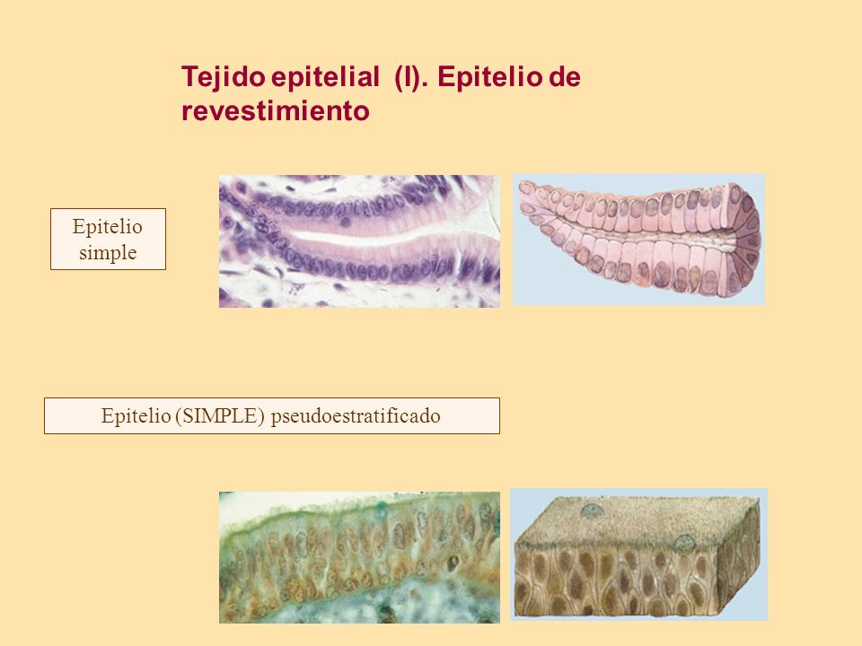 Tejido epitelial (I). Epitelio de revestimiento Epitelio simple Epitelio (SIMPLE) pseudoestratificado