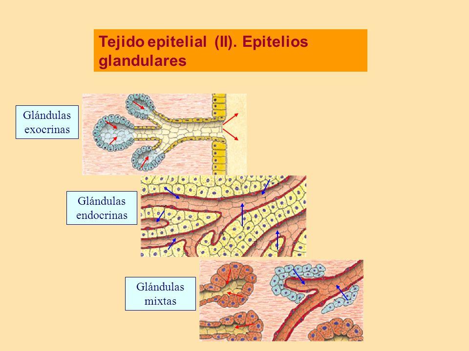 Tejido epitelial (II). Epitelios glandulares Glándulas exocrinas Glándulas endocrinas Glándulas mixtas