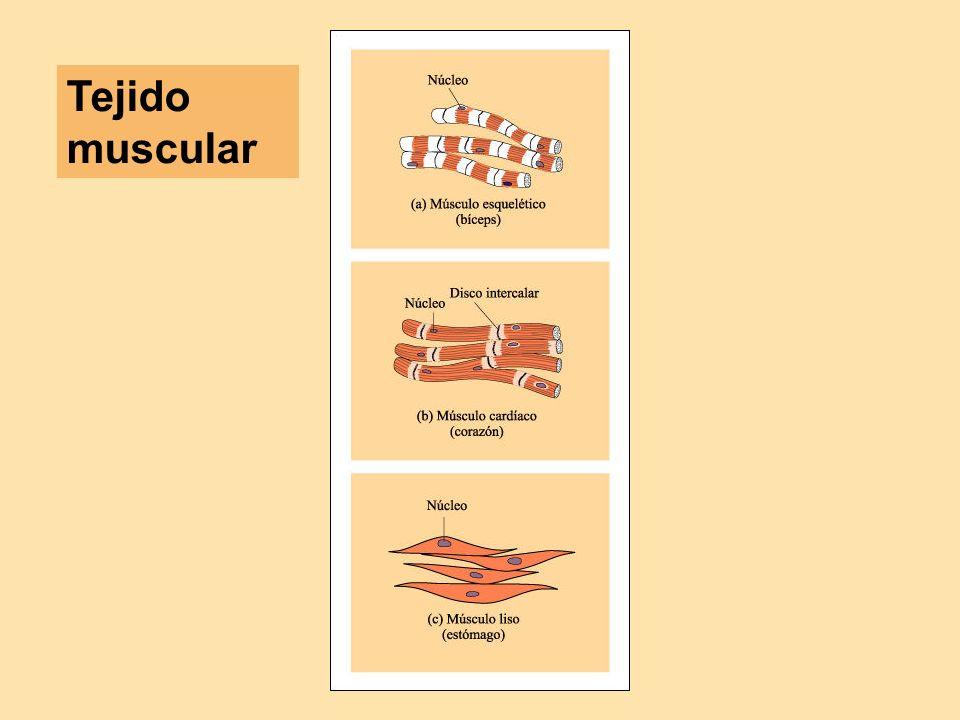 Microfotografía óptica de la sección longitudinal de tejido muscular cardiaco (X 330).