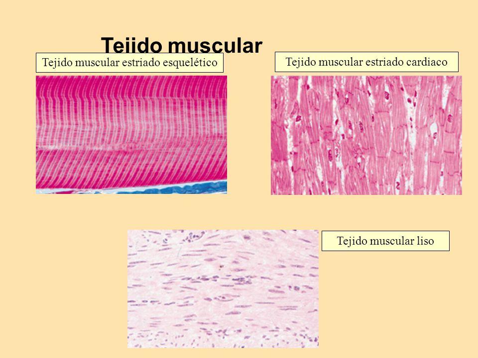 Tejido muscular Tejido muscular estriado esquelético Tejido muscular estriado cardiaco Tejido muscular liso