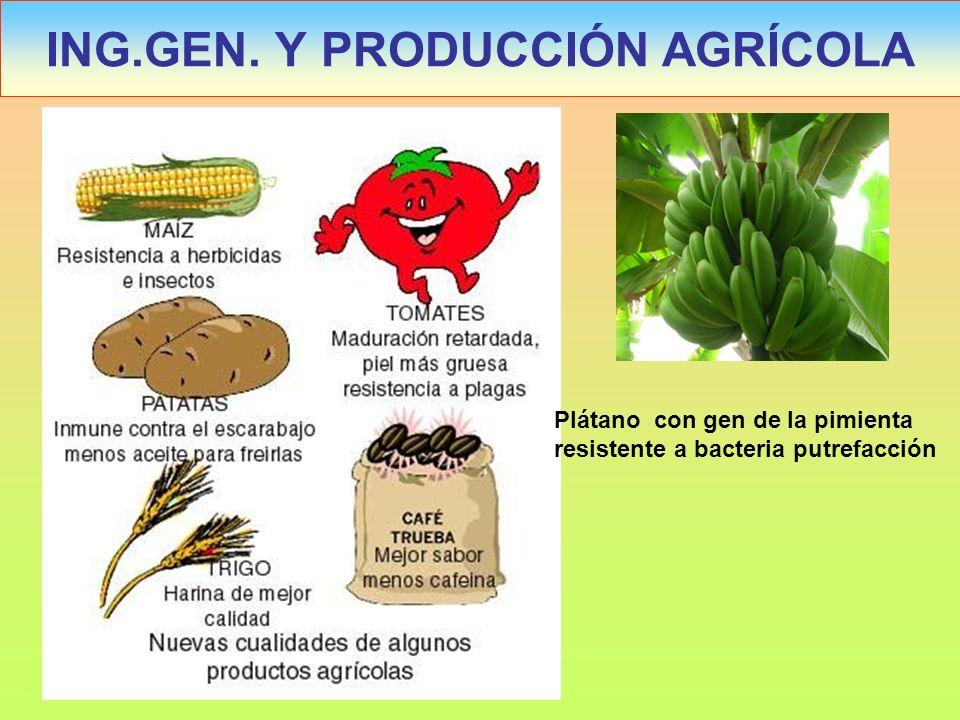 ING.GEN. Y PRODUCCIÓN AGRÍCOLA Plátano con gen de la pimienta resistente a bacteria putrefacción