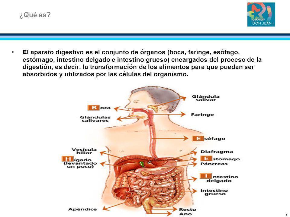 El aparato digestivo es el conjunto de órganos (boca, faringe, esófago, estómago, intestino delgado e intestino grueso) encargados del proceso de la d