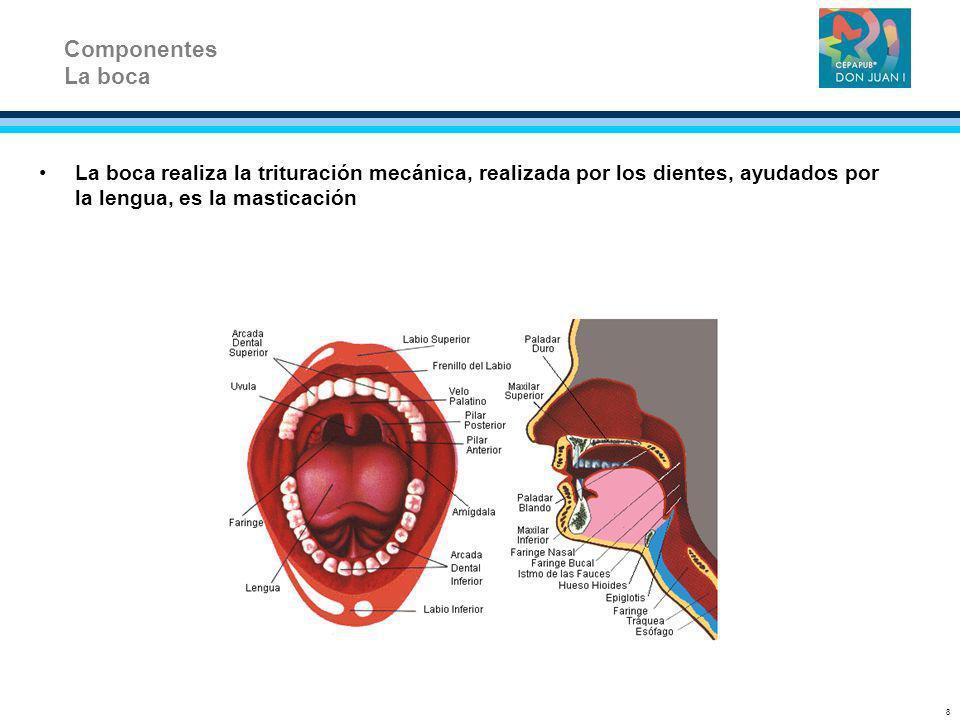 La boca realiza la trituración mecánica, realizada por los dientes, ayudados por la lengua, es la masticación Componentes La boca 8