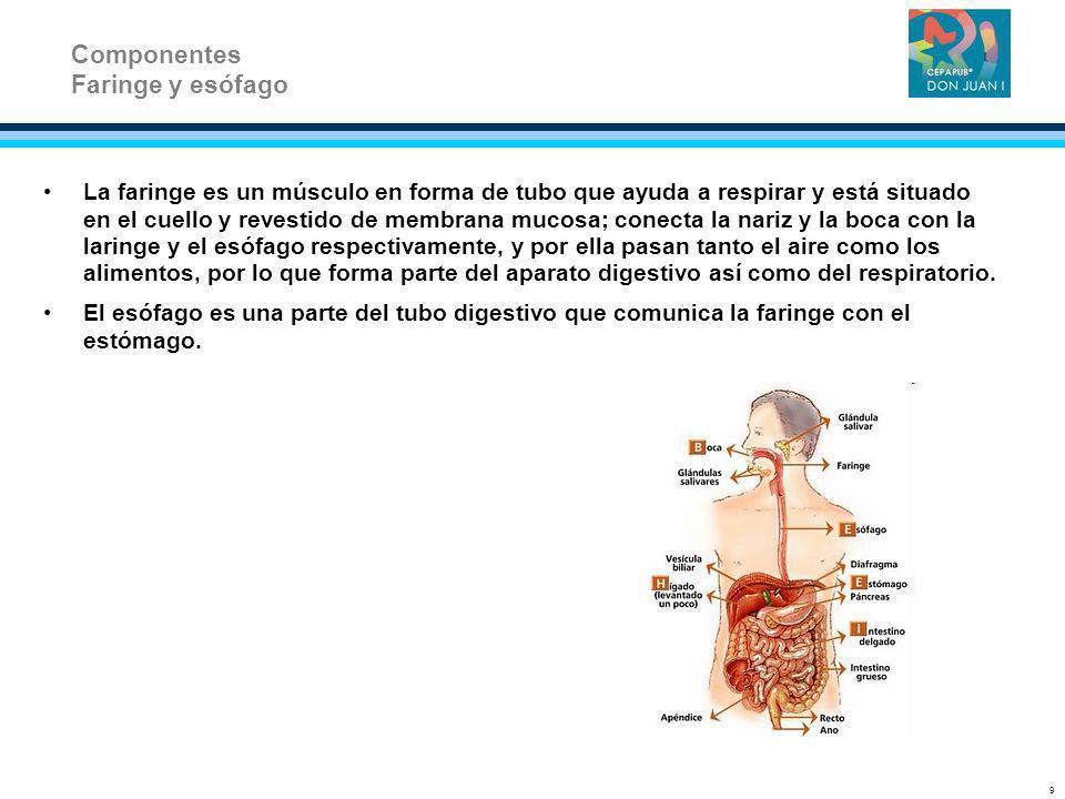 La faringe es un músculo en forma de tubo que ayuda a respirar y está situado en el cuello y revestido de membrana mucosa; conecta la nariz y la boca