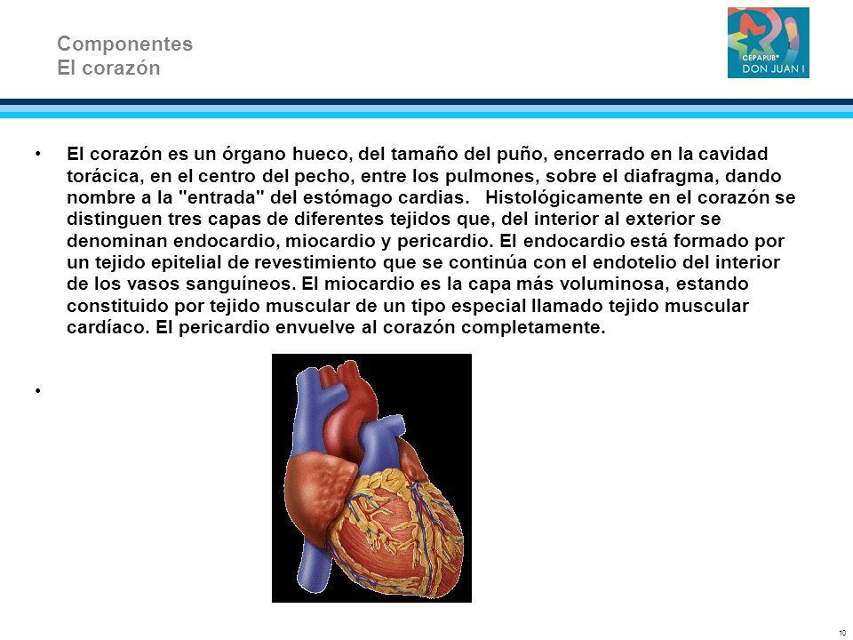 El corazón es un órgano hueco, del tamaño del puño, encerrado en la cavidad torácica, en el centro del pecho, entre los pulmones, sobre el diafragma,