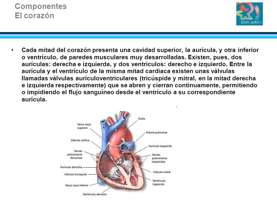 Componentes El corazón Cada mitad del corazón presenta una cavidad superior, la aurícula, y otra inferior o ventrículo, de paredes musculares muy desa