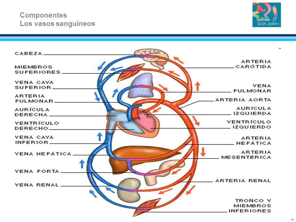 Componentes Los vasos sanguíneos 14