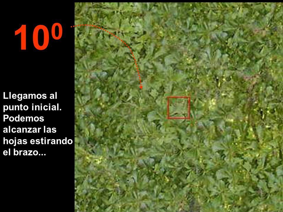 Llegamos al punto inicial. Podemos alcanzar las hojas estirando el brazo... 10 0