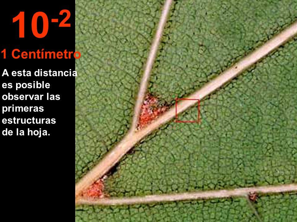A esta distancia es posible observar las primeras estructuras de la hoja. 10 -2 1 Centímetro
