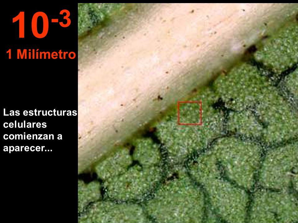 Las estructuras celulares comienzan a aparecer... 10 -3 1 Milímetro