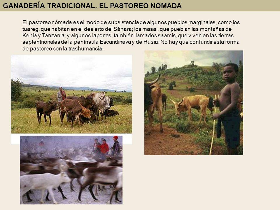 El pastoreo nómada es el modo de subsistencia de algunos pueblos marginales, como los tuareg, que habitan en el desierto del Sáhara; los masai, que pu